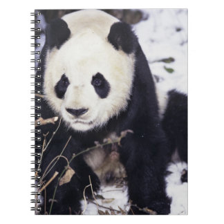 Asia, China, Sichuan Province. Giant Panda in 2 Spiral Notebook