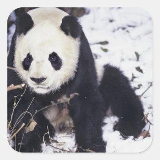 Asia, China, Sichuan Province. Giant Panda in 2 Square Sticker