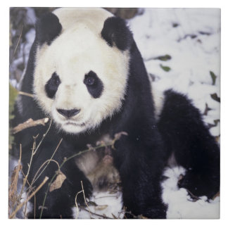Asia, China, Sichuan Province. Giant Panda in 2 Tile