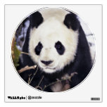Asia, China, Sichuan Province. Giant Panda in 2 Wall Skins