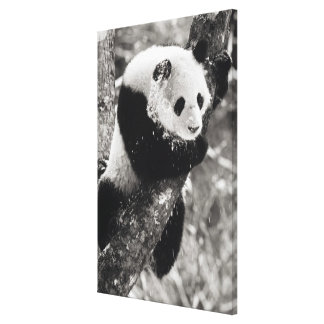 Asia, China, Sichuan Province. Giant Panda in Canvas Print