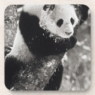 Asia, China, Sichuan Province. Giant Panda in Coaster