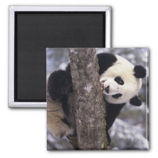 Asia, China, Sichuan Province. Giant Panda in Magnets
