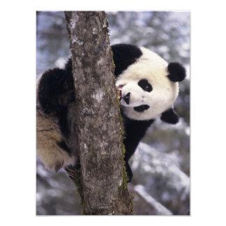 Asia, China, Sichuan Province. Giant Panda in Photo Art