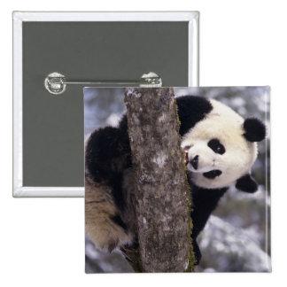 Asia, China, Sichuan Province. Giant Panda in Pinback Button