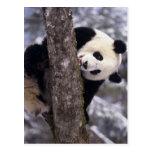 Asia, China, Sichuan Province. Giant Panda in Postcard