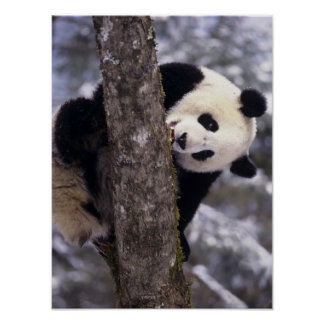 Asia, China, Sichuan Province. Giant Panda in Poster
