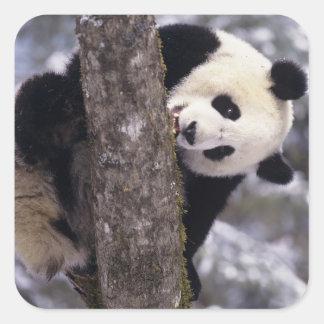 Asia, China, Sichuan Province. Giant Panda in Square Sticker