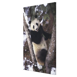 Asia, China, Sichuan Province. Giant Panda up a Canvas Print