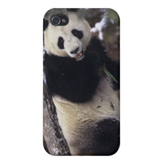 Asia, China, Sichuan Province. Giant Panda up a iPhone 4 Cases