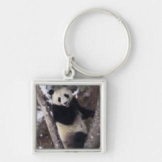 Asia, China, Sichuan Province. Giant Panda up a Silver-Colored Square Keychain