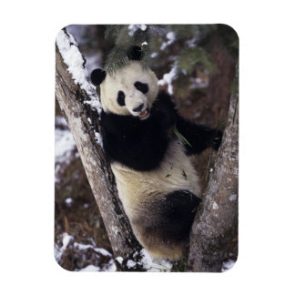 Asia, China, Sichuan Province. Giant Panda up a Magnet