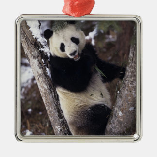 Asia, China, Sichuan Province. Giant Panda up a Metal Ornament