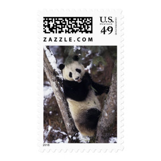 Asia, China, Sichuan Province. Giant Panda up a Stamps