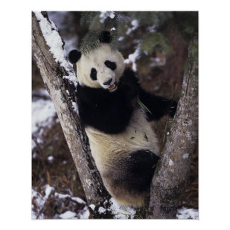 Asia, China, Sichuan Province. Giant Panda up a Poster