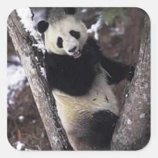 Asia, China, Sichuan Province. Giant Panda up a Square Sticker