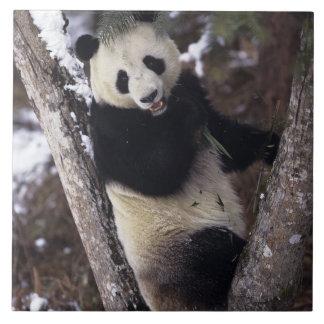 Asia, China, Sichuan Province. Giant Panda up a Tile