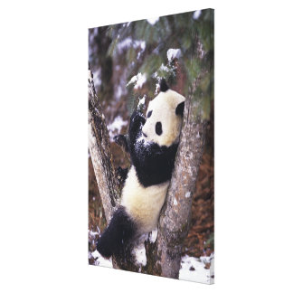 Asia, China, Sichuan Province. Giant Panda up Canvas Print