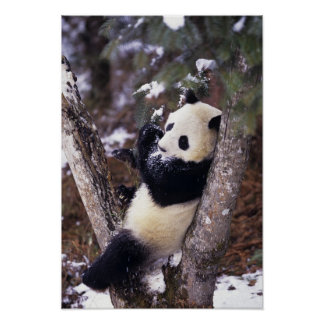 Asia, China, Sichuan Province. Giant Panda up Poster