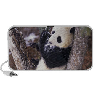 Asia, China, Sichuan Province. Giant Panda up Speaker