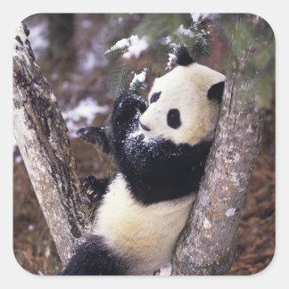 Asia, China, Sichuan Province. Giant Panda up Square Sticker
