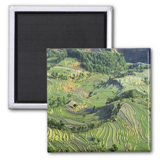 Asia, China, Yunnan, Yuanyang. Modelo del verde Imán Cuadrado