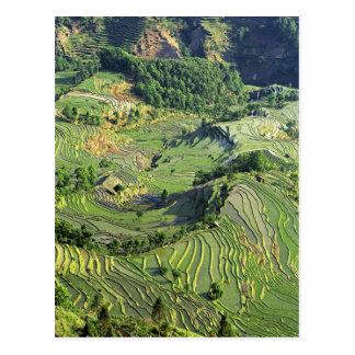 Asia, China, Yunnan, Yuanyang. Modelo del verde Tarjetas Postales