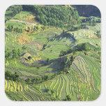 Asia, China, Yunnan, Yuanyang. Pattern of green Square Sticker