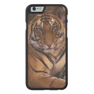 Asia, India, Bandhavgarth National Park, Carved® Maple iPhone 6 Case