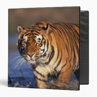 ASIA, India, Bengal Tiger Panthera tigris) 3 Ring Binders