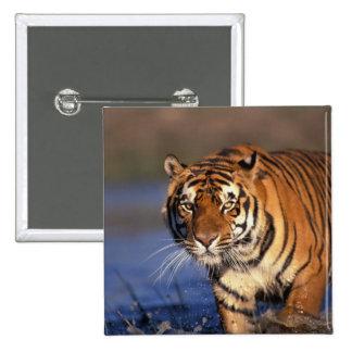 ASIA, India, Bengal Tiger Panthera tigris) Button