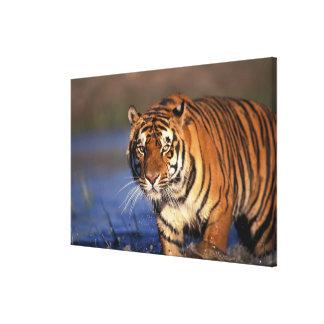 ASIA, India, Bengal Tiger Panthera tigris) Stretched Canvas Print