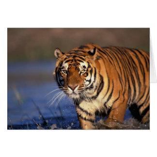 ASIA, India, Bengal Tiger Panthera tigris) Card