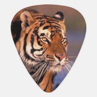 Asia, India, Bengal tiger Panthera tigris); Guitar Pick