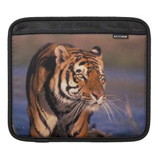 Asia, India, Bengal tiger Panthera tigris); Sleeve For iPads