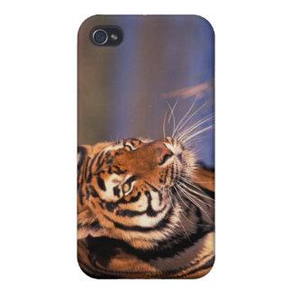 Asia, India, Bengal tiger Panthera tigris); iPhone 4/4S Case