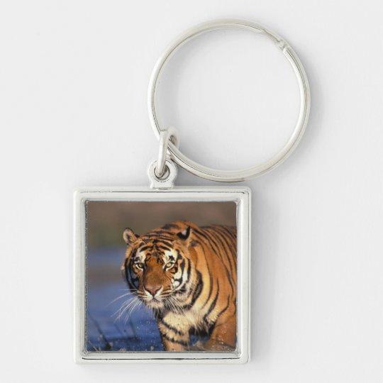 ASIA, India, Bengal Tiger Panthera tigris) Keychain