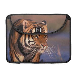 Asia, India, Bengal tiger Panthera tigris); MacBook Pro Sleeve