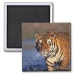 ASIA, India, Bengal Tiger Panthera tigris) Fridge Magnets