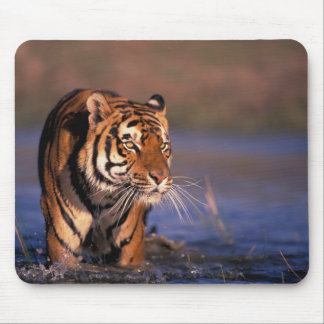 Asia, India, Bengal tiger Panthera tigris); Mouse Pad