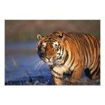 ASIA, India, Bengal Tiger Panthera tigris) Photo Print