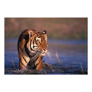 Asia, India, Bengal tiger Panthera tigris); Photo Art