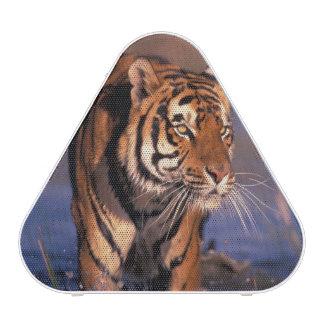 Asia, India, Bengal tiger Panthera tigris); Speaker