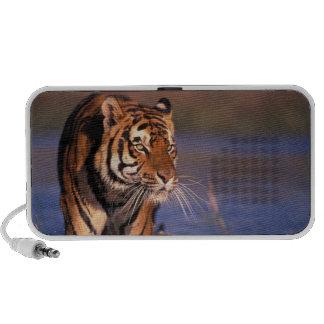 Asia, India, Bengal tiger Panthera tigris); Mp3 Speaker