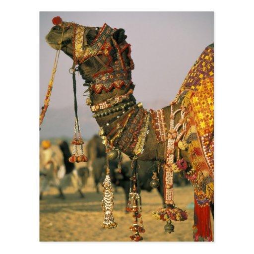 Asia, India, Pushkar. Camel Shamu , Pushkar Postcard