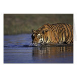 ASIA, India Tiger walking through the water 2 Card