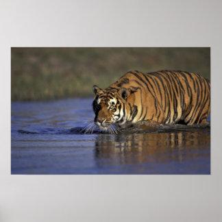 ASIA, India Tiger walking through the water 2 Poster