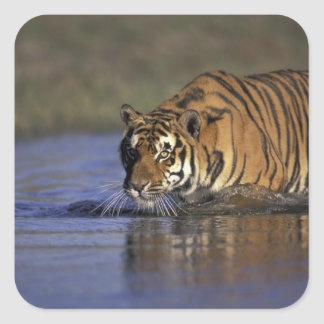 ASIA, India Tiger walking through the water 2 Square Sticker