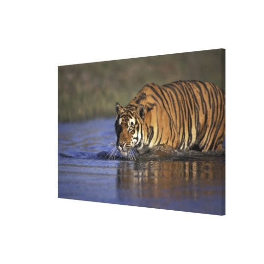 ASIA, India Tiger walking through the water Canvas Print