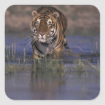 ASIA, India Tiger walking through the water Square Sticker